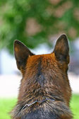 Head of a dog rear view — Stock Photo