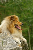 Collie on a stone — Stock Photo