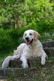 Portrate um cão branco — Foto Stock