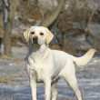 Stock Photo: Young labrador