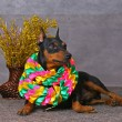 Pinscher — Stock Photo #2457495