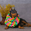 Stock Photo: Pinscher