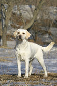 Young labrador — Stock Photo