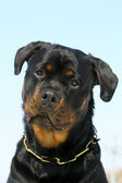 Rottweilers portrate — Stock Photo
