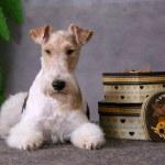 hond en geschenk dozen — Stockfoto