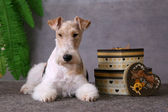 Dog and gift boxes — Stock Photo