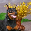 Zwerg pinscher — Stock Photo