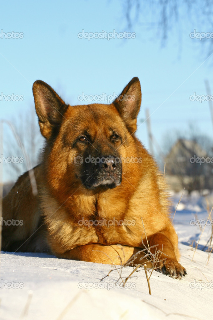 Bright german shepherd dog lying on a snow alone — Stock Photo #2612079