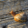 Stock Photo: Snail on the old wooden surface