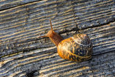 Snail on the old wooden surface — Stock Photo