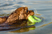 Dog swimming with rubber ring — Stock Photo