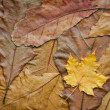 Maple leaf on the oak background - Stock Photo