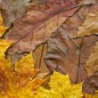 Oak and maple leaves background - Stock Photo