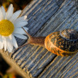Snail on the wooden bar and flower — Stock Photo