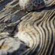 Stock Photo: Shell on the old wooden surface