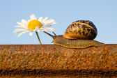 Snail on the rail and flower — Stock Photo