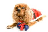 Lying dog with gift bone — Stock Photo