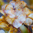 Autumn dry lilac flower - Stock Photo
