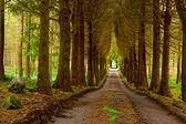 Pine wood and vanishing road — Stock Photo
