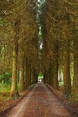Pine wood and vanishing road with figure — Stock Photo