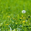 Dandelions on a green background — Stock Photo