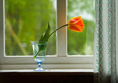 Tulip on window sill — Stock Photo