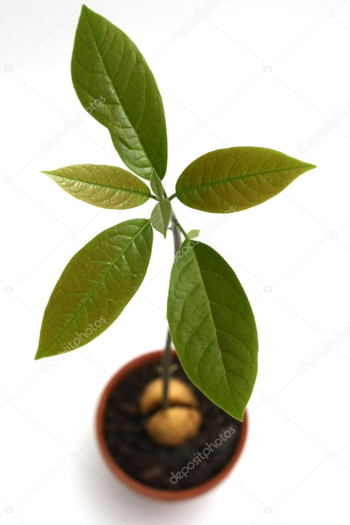 Avocado plant isolated on white  Stock Photo #1143581