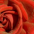 Red rose — Stock Photo #1174643
