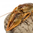 European crayfish - Stock Photo