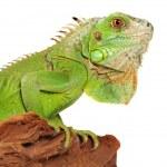 Iguana — Stock Photo #1206492