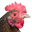 Poultry — Stock Photo