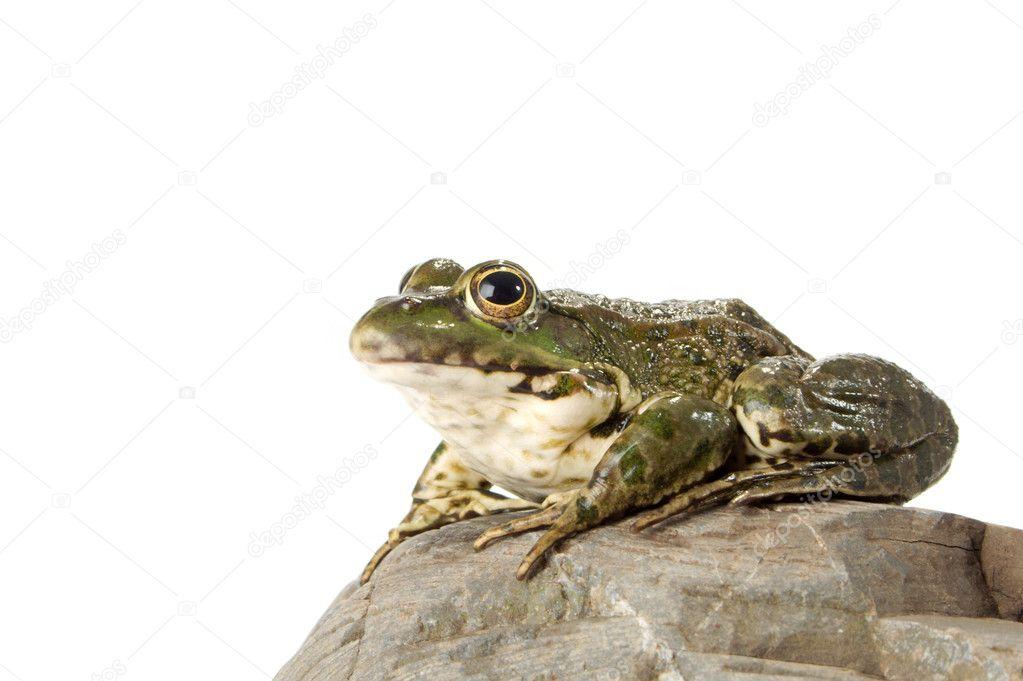 Сонник для беременных жаба