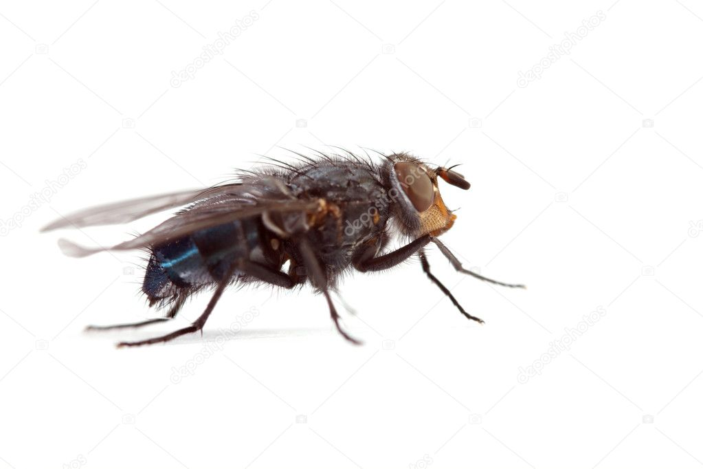 Big annoying fly on a white background   Stock Photo #1532804