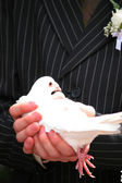 Wedding pigeon — Stock Photo