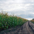Cornfield — Stock Photo #1196124