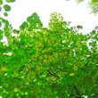 Green linden branches in the blossom — Stock Photo