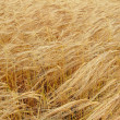 Ripe wheat close-up — Stock Photo #1353491