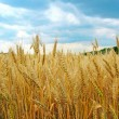 The wheat field close-up — Stock Photo #1353529