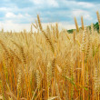 The wheat field close-up — Stock Photo #1353530