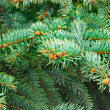 Green fir branches — Stock fotografie