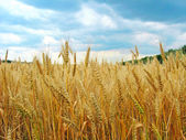 The wheat field close-up — Stock Photo