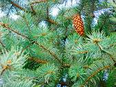 Green fir branches with strobile — Stock Photo