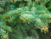 Green fir branches — Stock Photo