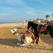 Stock Photo: White camel and black horse on the beach