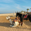 White camel and black horse on the beach — Stock Photo