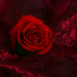 Rose on dark red satin — Stock Photo #1176298