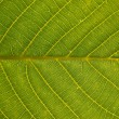 Walnut leaf as background — Stock Photo