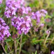 Blooming thyme - Stock Photo
