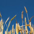 Yellow wheat against clear sky backgroun — Stock Photo