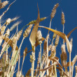 Stock Photo: Yellow wheat against clear sky backgroun